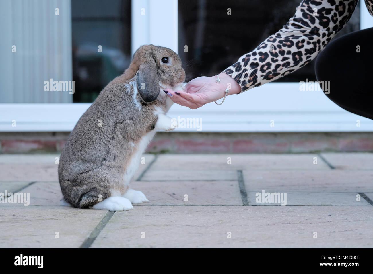 Ein Zahmes Dwarf Lop Kaninchen, Haustier, Kaninchen isst eine Festlichkeit von seinem Besitzer Hand. Das Kaninchen Stockbild