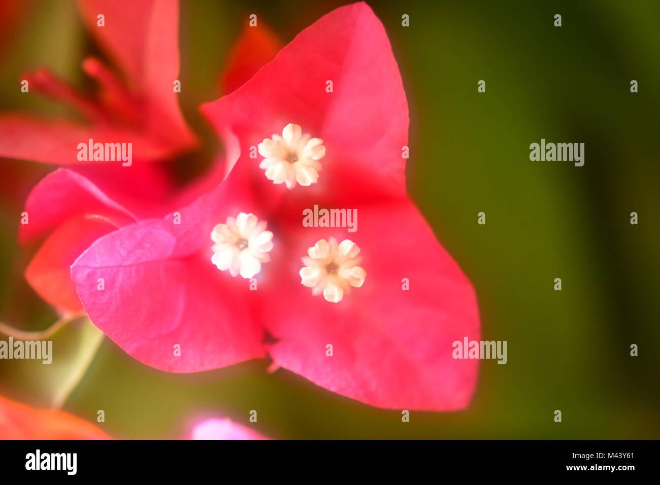 Rote Blumen soft für Valentines Tag Stockbild