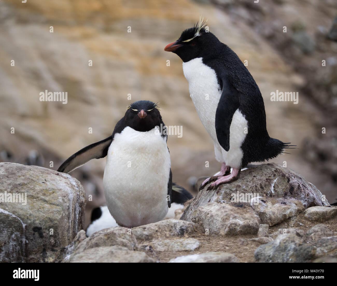 Ein rockhopper penguin Klettern Felsen hinter einem ständigen rockhopper Penguin mit rosa Schwimmhäuten. Stockbild