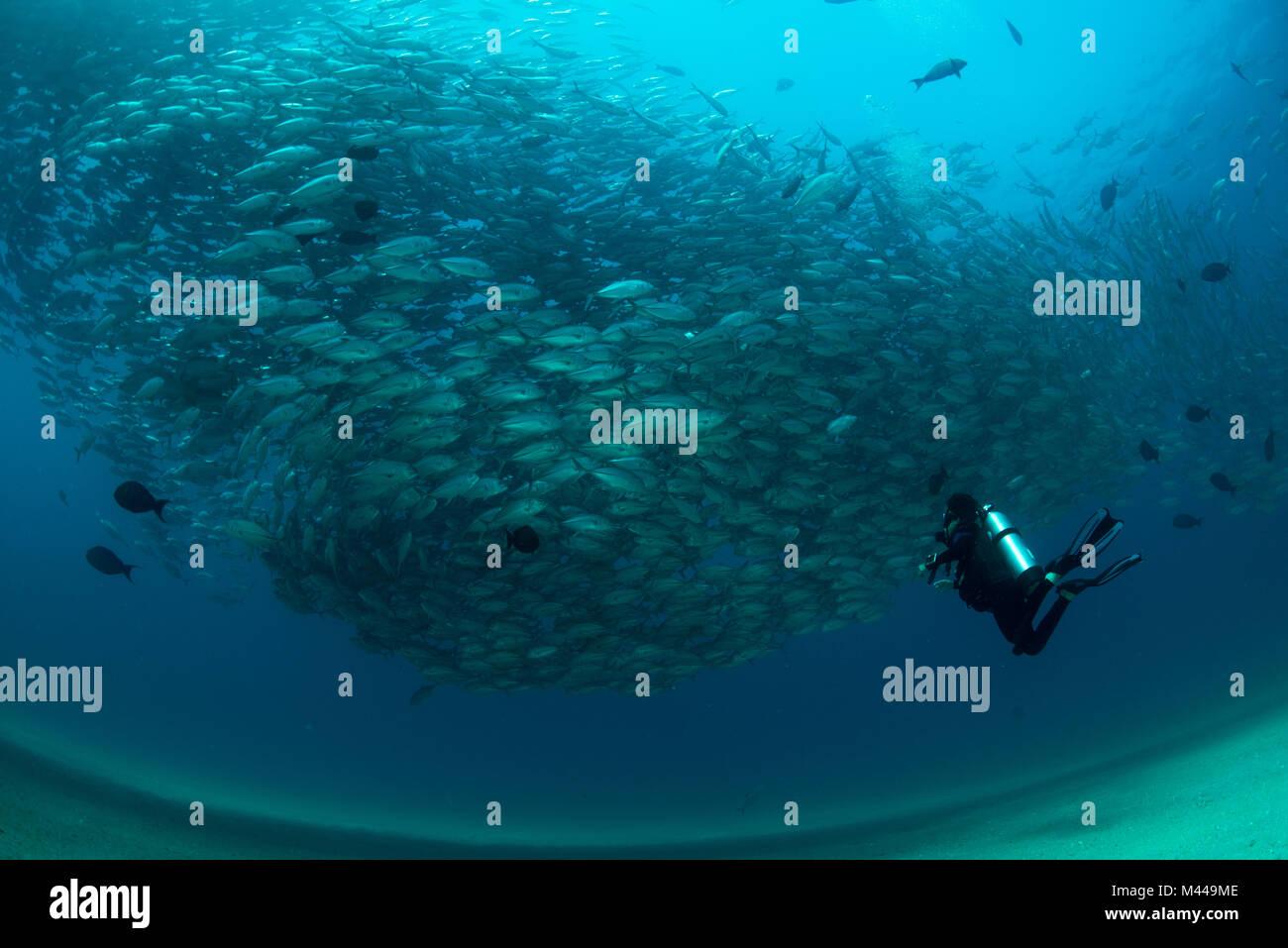 Taucher schwimmen mit Schule von Jack Fisch, Unterwasser, Cabo San Lucas, Baja California Sur, Mexiko, Nordamerika Stockbild