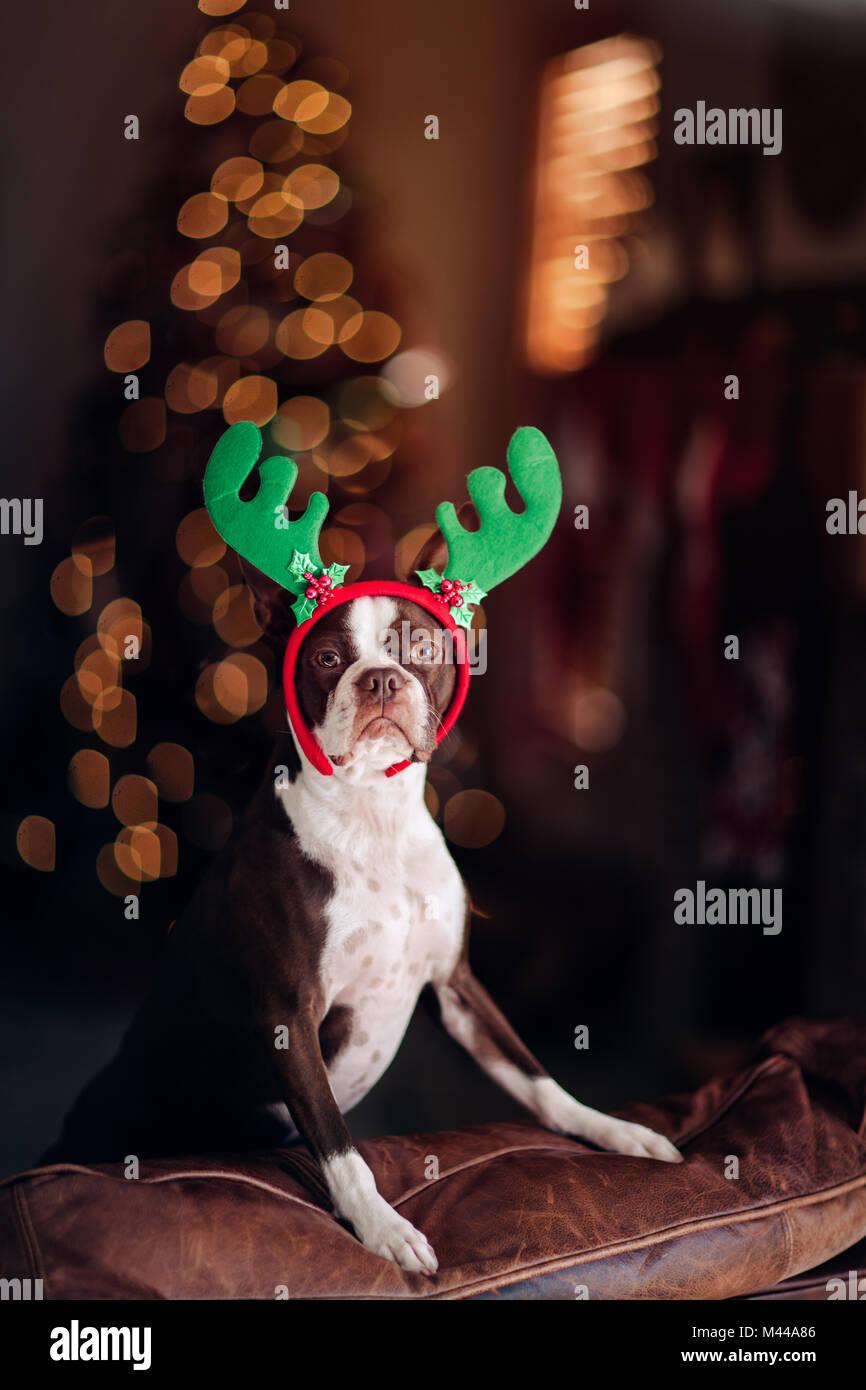 Boston Terrier Hund mit Rentier Geweih, Weihnachtsbaum im ...