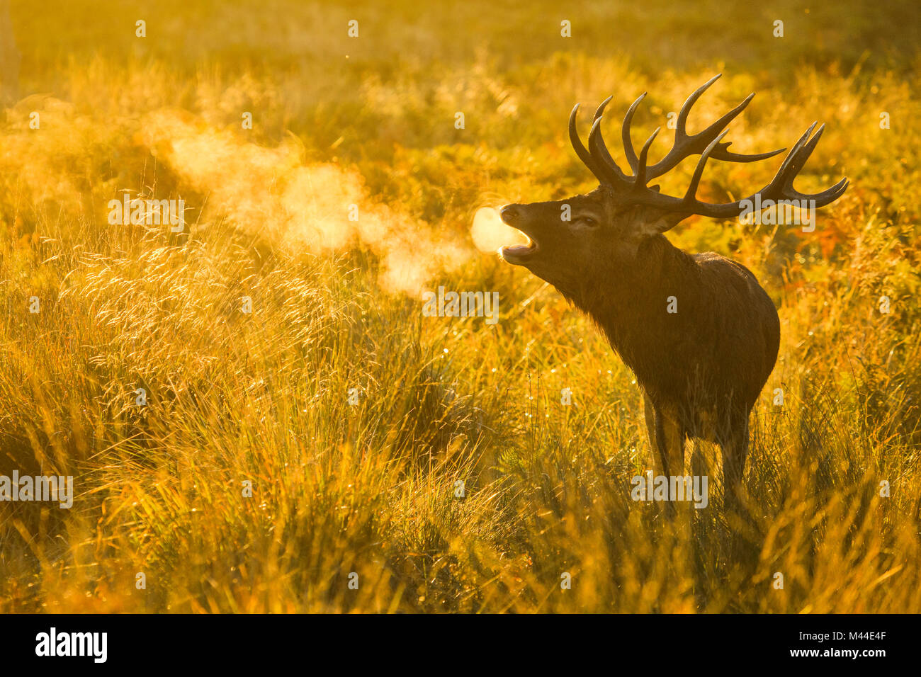 Red Deer (Cervus elaphus). Hirsch Gebrüll bei Sonnenaufgang während der Brunft, Richmond Park, London, Stockbild