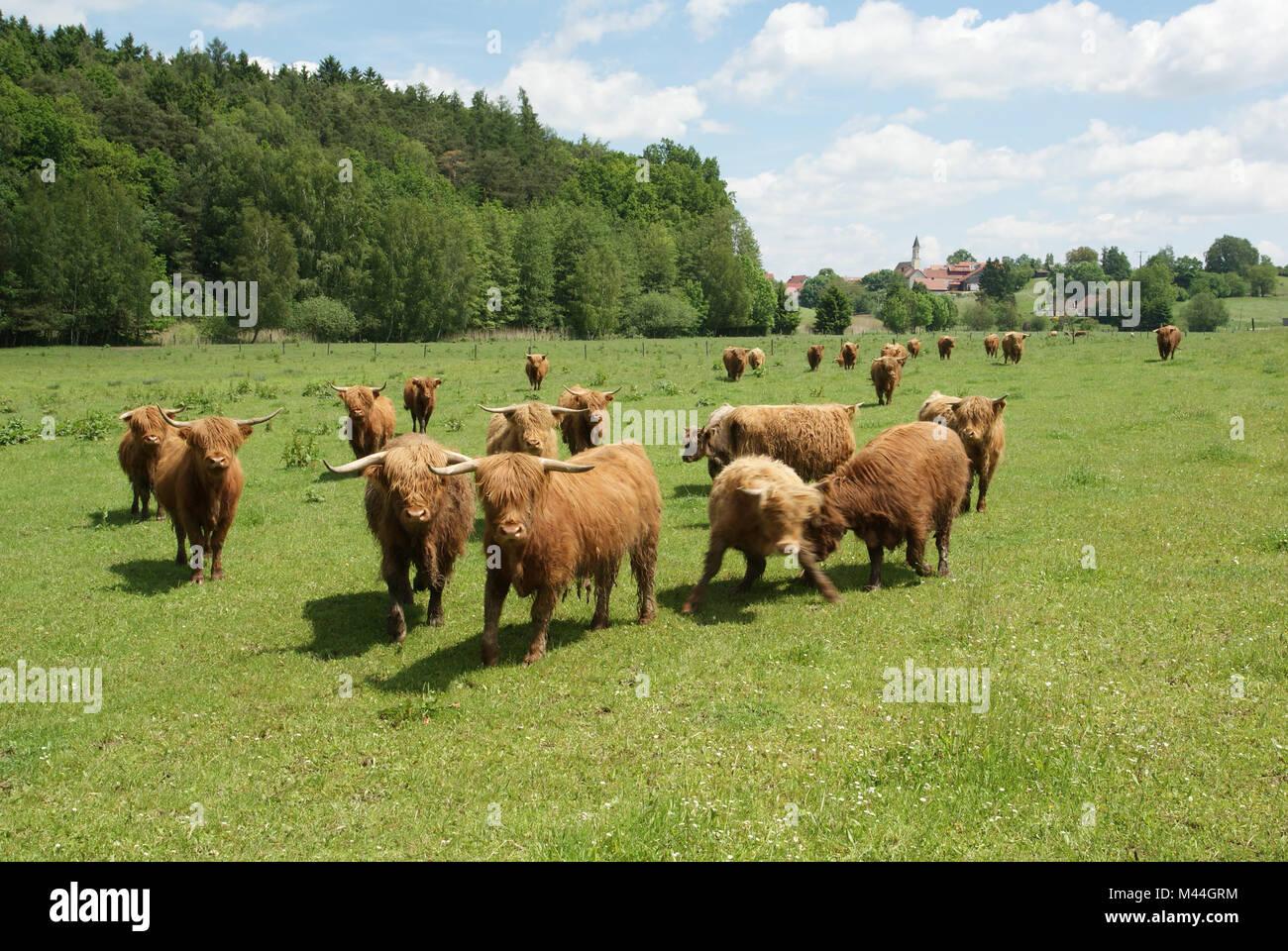 Hochlandrinder-Weide in der Hallertau in Niederbayern Stockbild