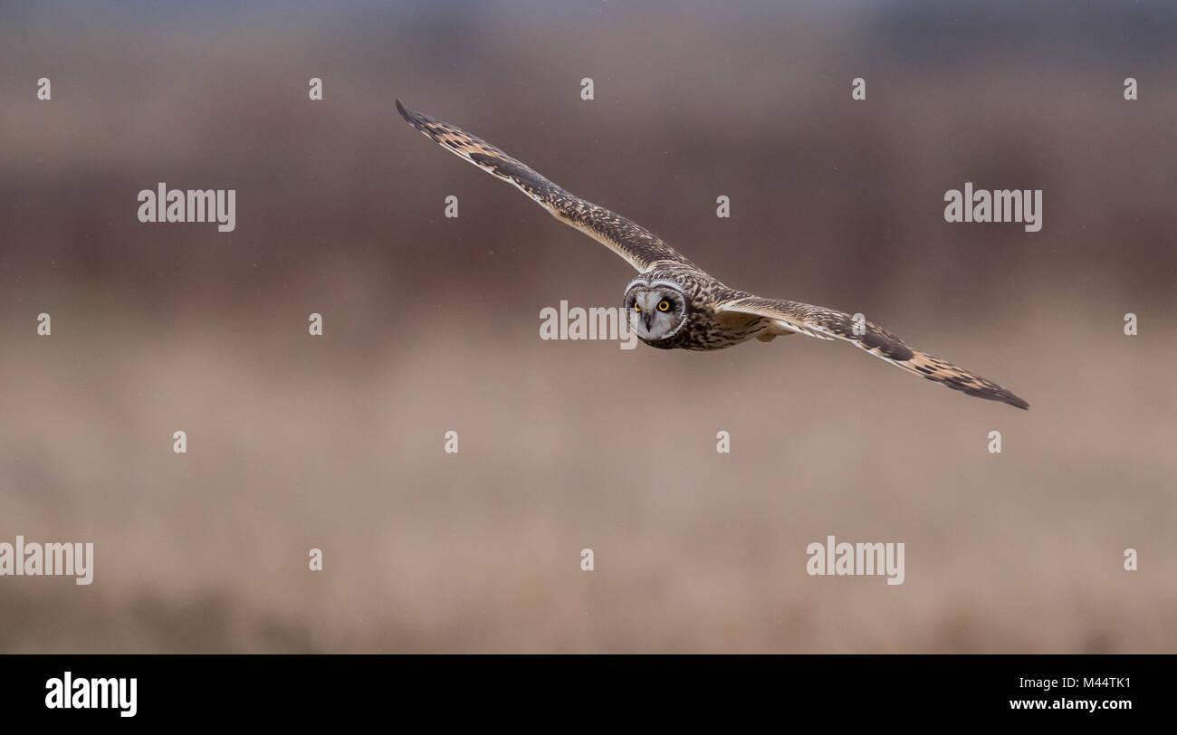 Short Eared Owl in einer Wiese Stockbild