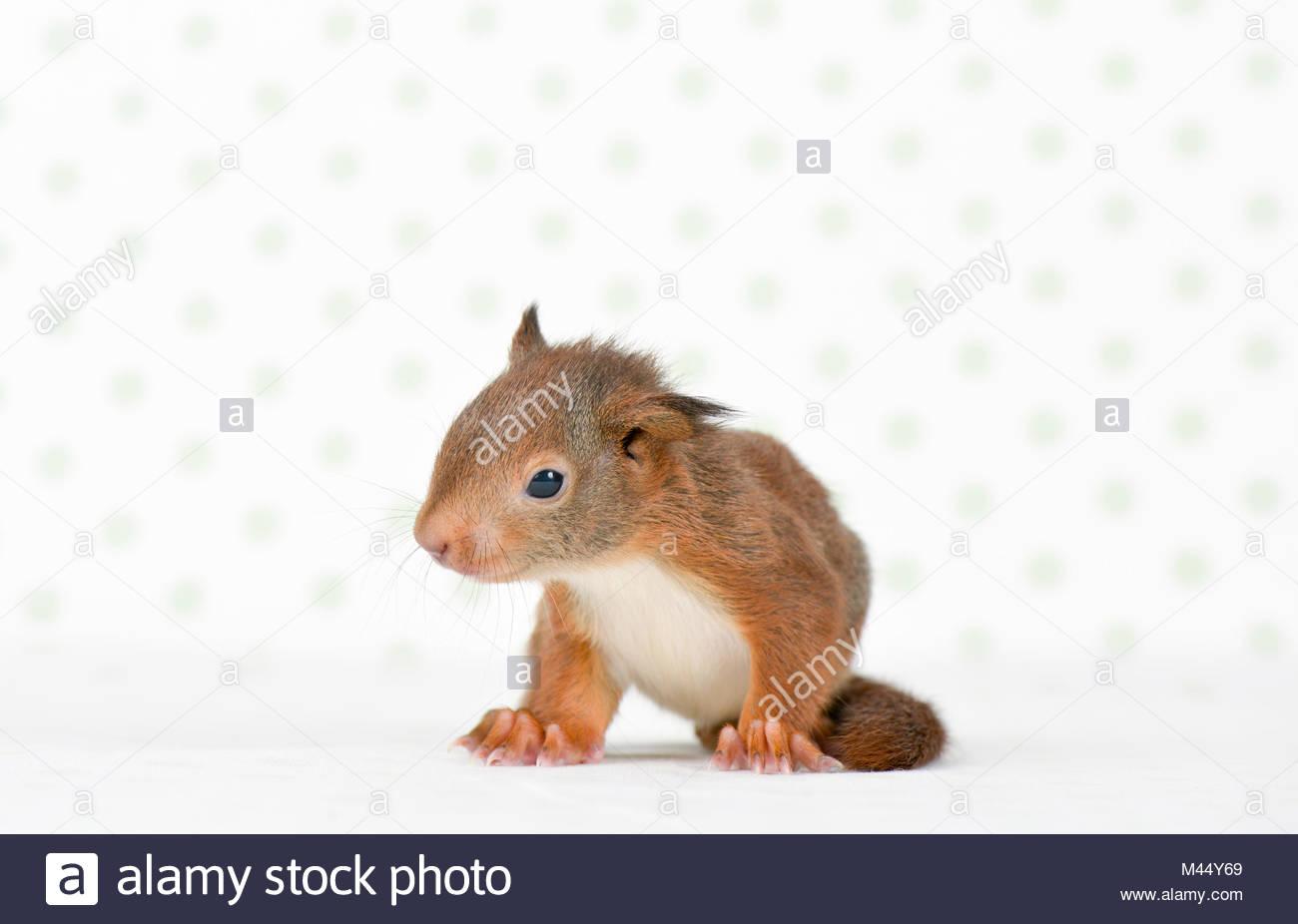 Reife Eichhörnchen