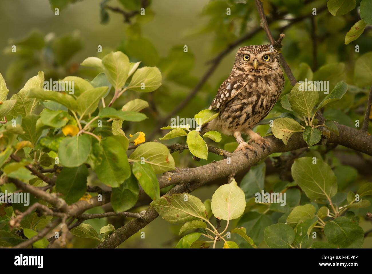 Steinkauz (Athene noctua) sitzt in einem Baum, direkter Blick, Rheinland-Pfalz, Deutschland Stockbild