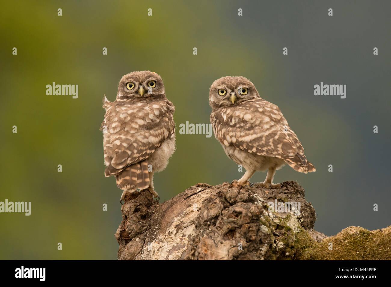Steinkäuze (Athene noctua), sitzend, direkter Blick, Rheinland-Pfalz, Deutschland Stockfoto