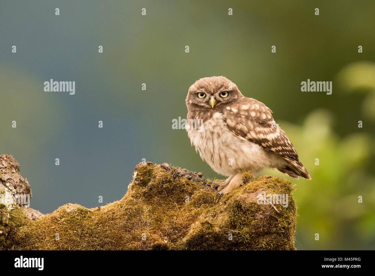 Steinkauz (Athene noctua), sitzend, direkter Blick, Rheinland-Pfalz, Deutschland Stockbild