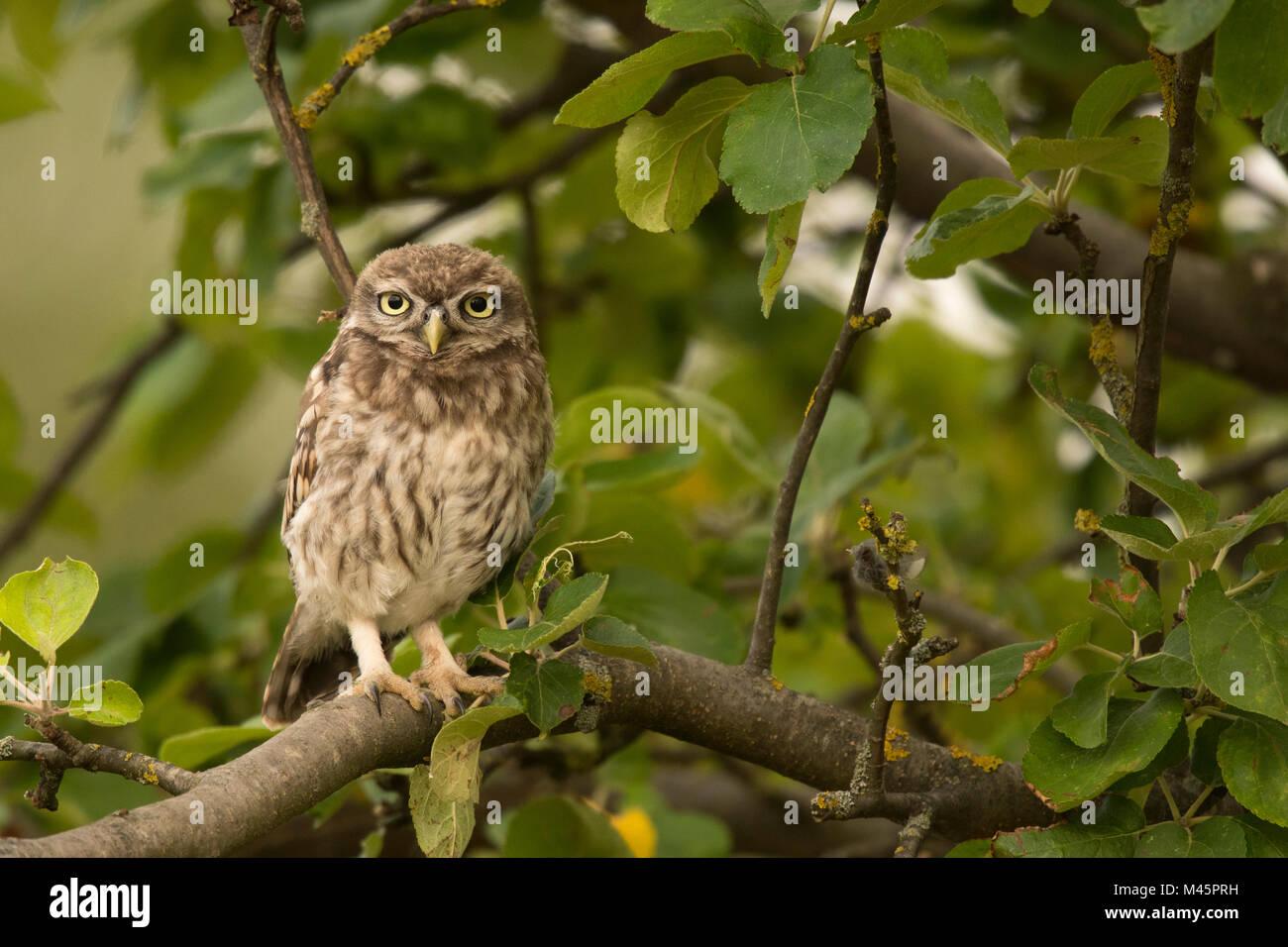 Steinkauz (Athene noctua), sitzen auf dem Baum, direkter Blick, Rheinland-Pfalz, Deutschland Stockbild