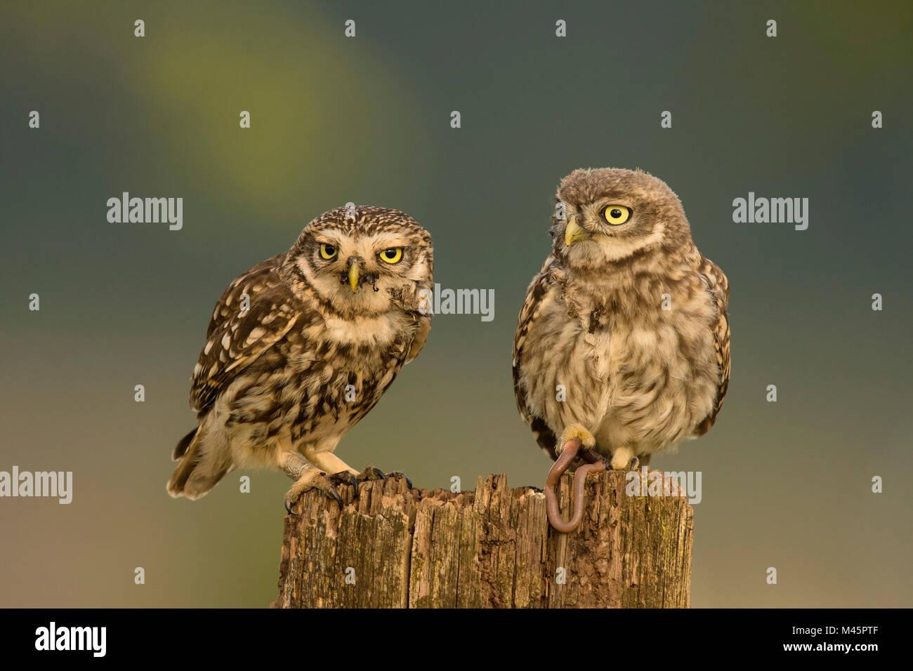 Zwei Steinkäuze (Athene noctua), alte Tier- und junge Tier auf Baumstumpf, Rheinland-Pfalz, Deutschland Stockbild
