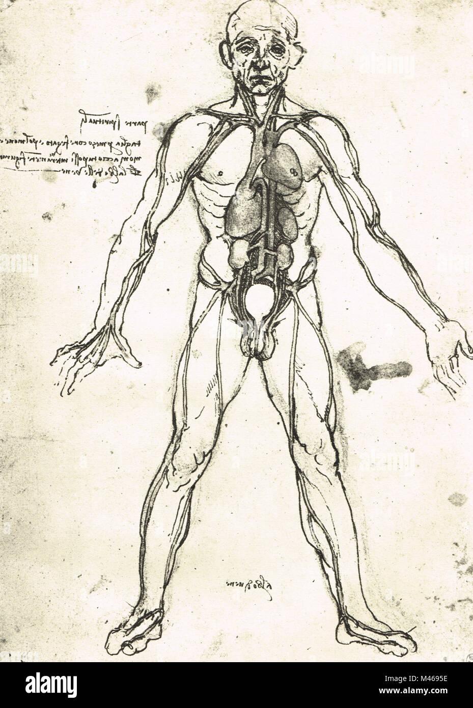 Anatomische Abbildung eines Mannes, das Herz, die Lungen und die ...
