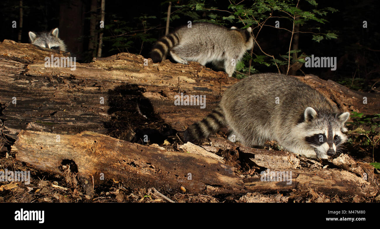 8e2d32fdb9f40c Eine Familie von Waschbären Nahrungssuche in den nördlichen Wäldern.  Stockbild