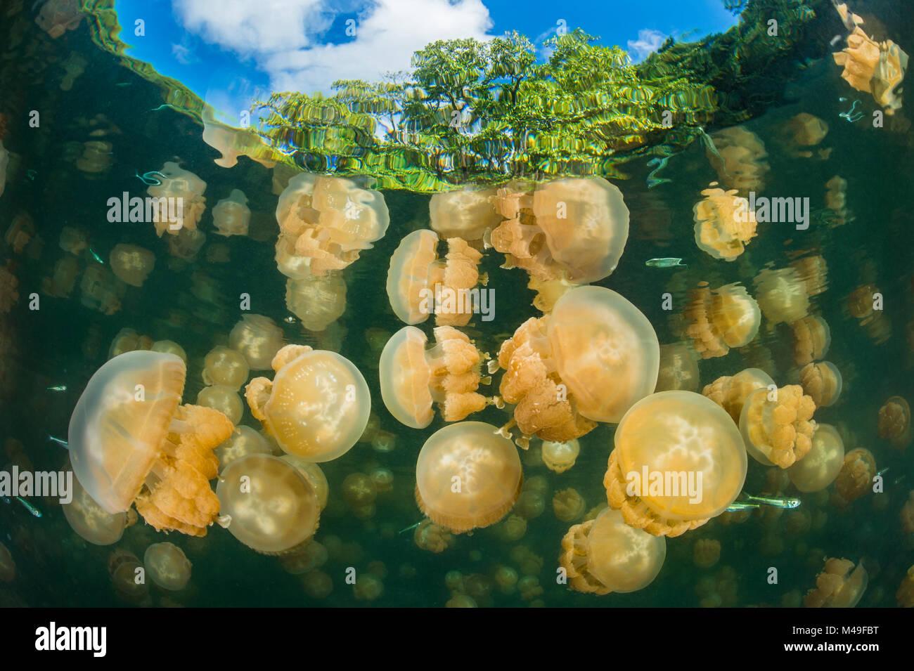 Aggregation von Golden Quallen Mastigias (sp.) In einem marine See in Palau, die goldene Farbe dieser Art kommt von symbiotischen Algen in seinen Geweben. Jellyfish Lake, Eil Malk Insel, Rock Islands, Palau. Tropical North Pacific Ocean. Stockfoto