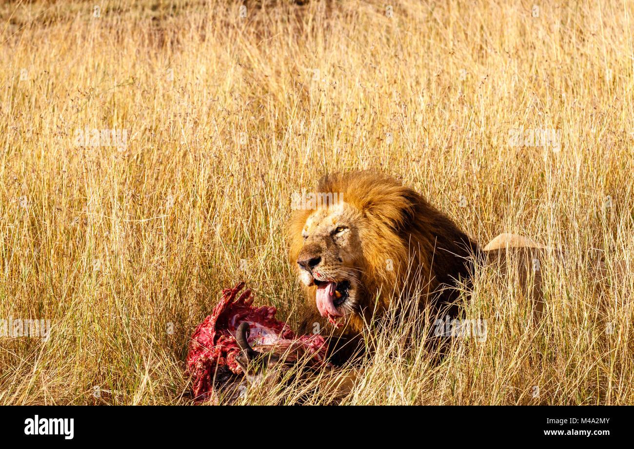 Reife männliche Löwe (Panthera leo) frisst seine Beute, die roten blutigen Rippen der Kadaver eines Büffel, im langen Stockfoto