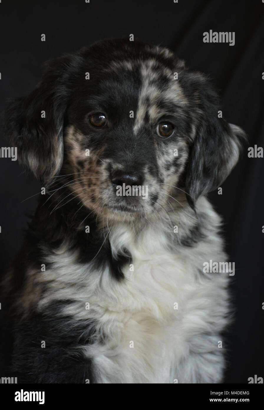 Susse Australian Shepherd Labrador Welpen Aussiedor In Bayern Spiegelau Australian Shepherd Labrador Spiegelau
