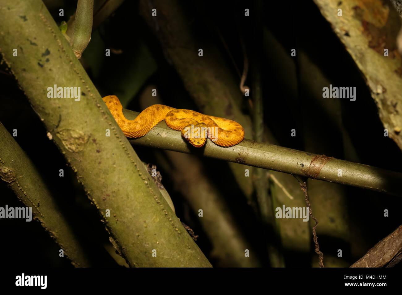 Wimpern Pitviper in Costa Rica Stockbild