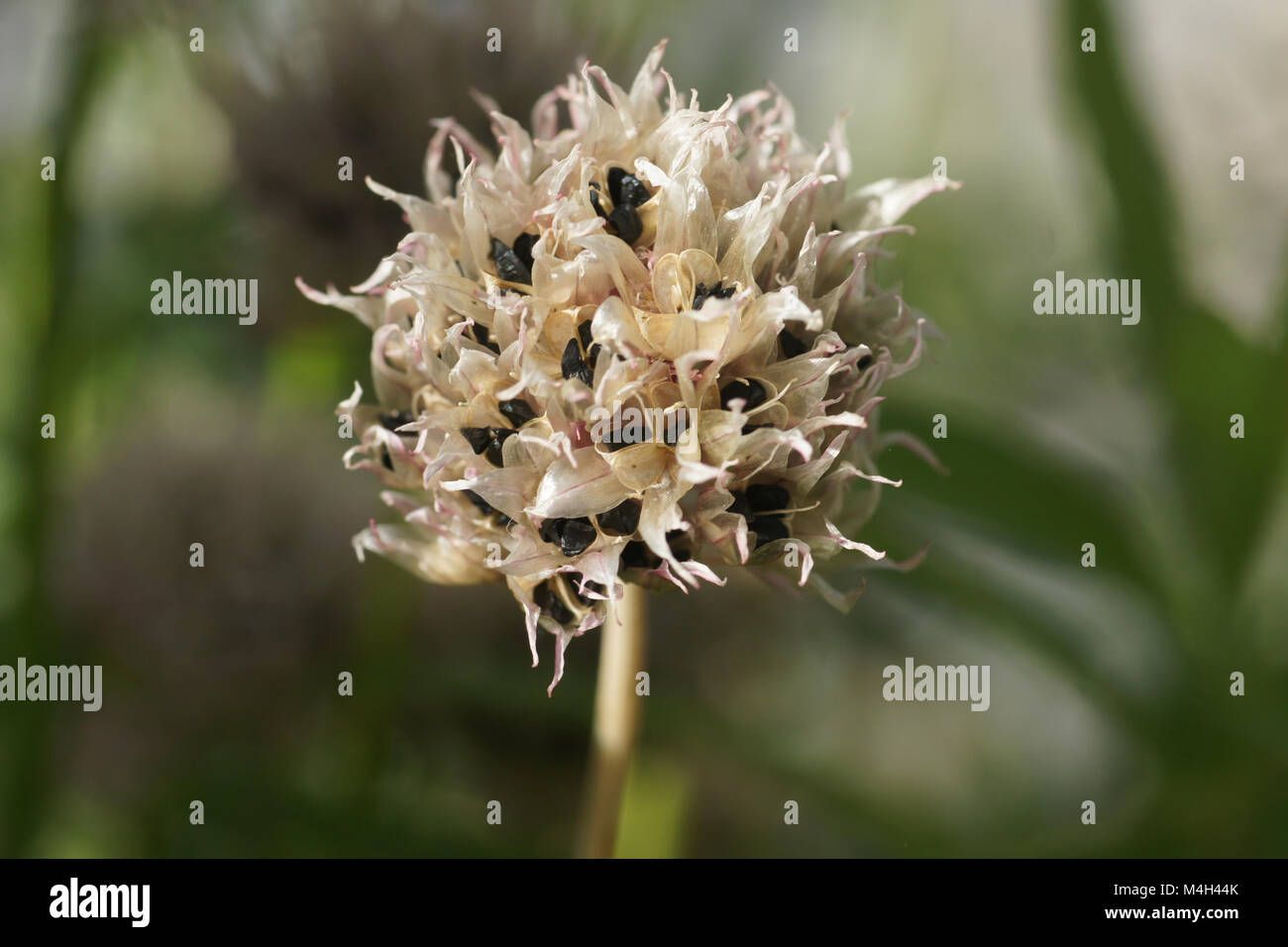 Schnittlauch 100 Samen Allium Schoenoprasum Lauchzwiebel