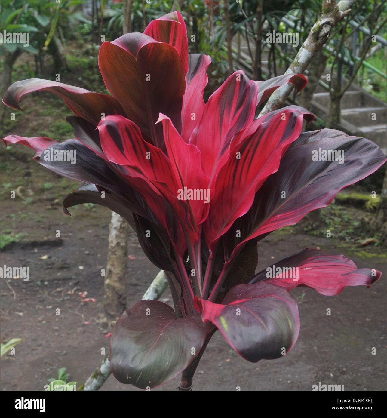 pflanze mit roten bl tter in bali indonesien stockfoto bild 174960342 alamy. Black Bedroom Furniture Sets. Home Design Ideas