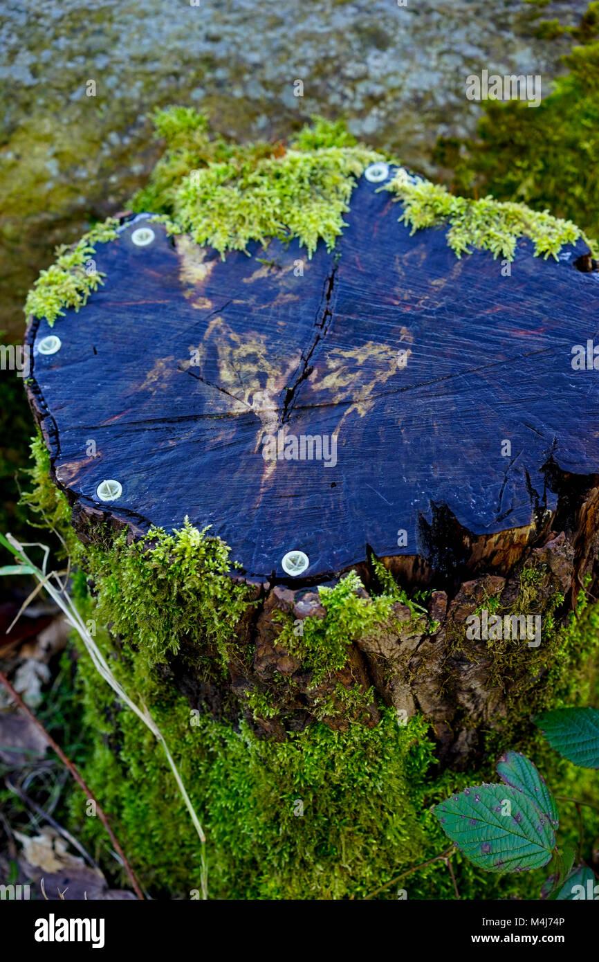 Alte Schnitt unten Baumstumpf mit Bäumchen und root Killer stopfen um die Ränder, England, UK. Stockbild