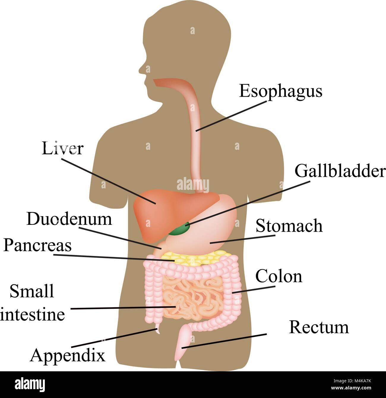 Die Struktur der Magen-Darm-Trakt. Die menschliche Anatomie. Vector ...