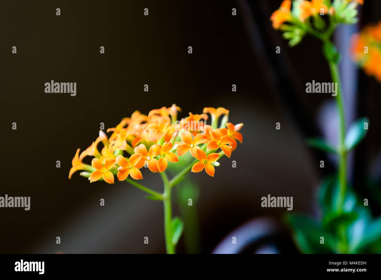 flower madagascar succulent stockfotos flower madagascar succulent bilder alamy. Black Bedroom Furniture Sets. Home Design Ideas