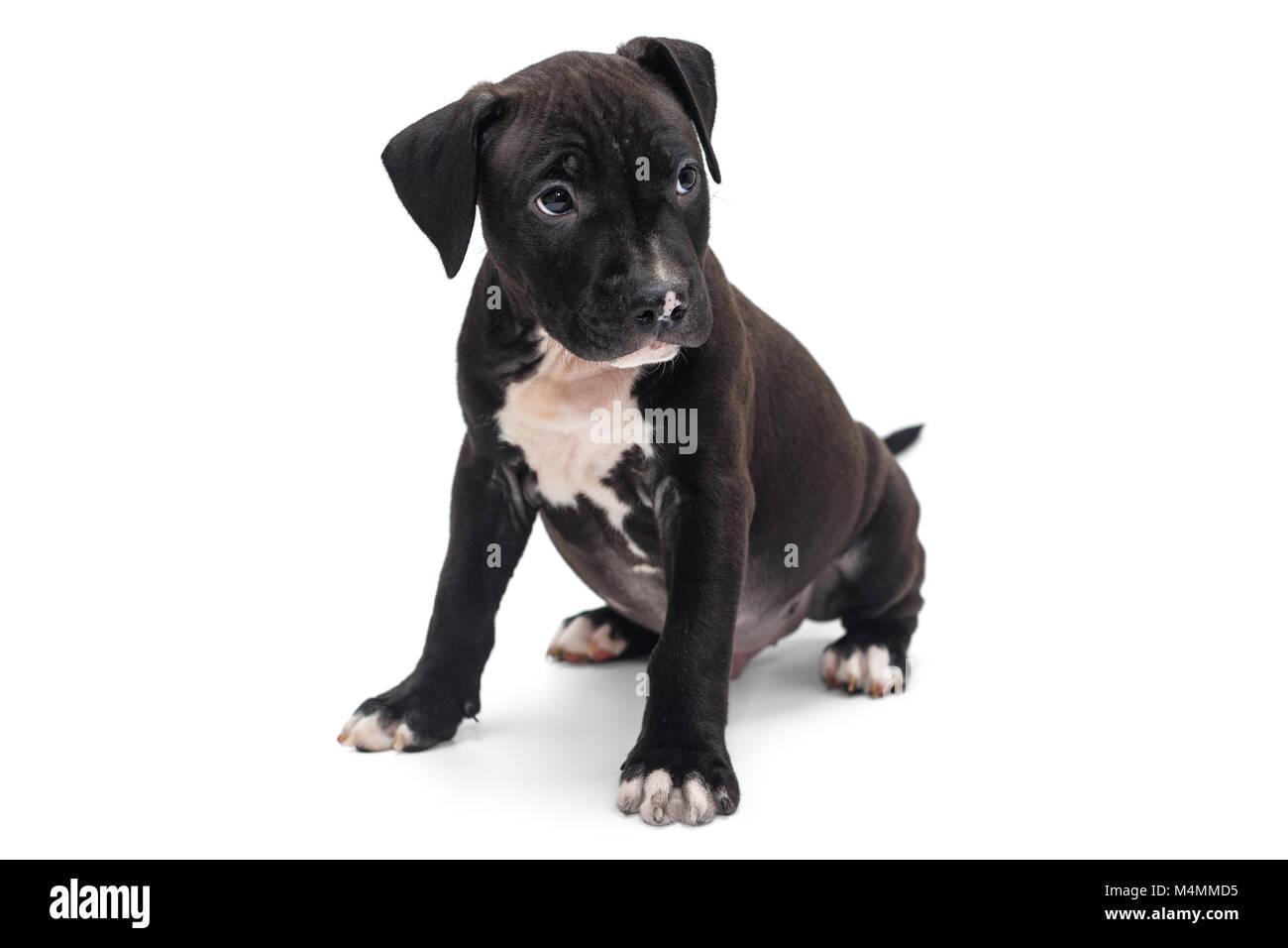 Schwarzer Staffordshire Terrier Stockfotos Und Bilder Kaufen Alamy