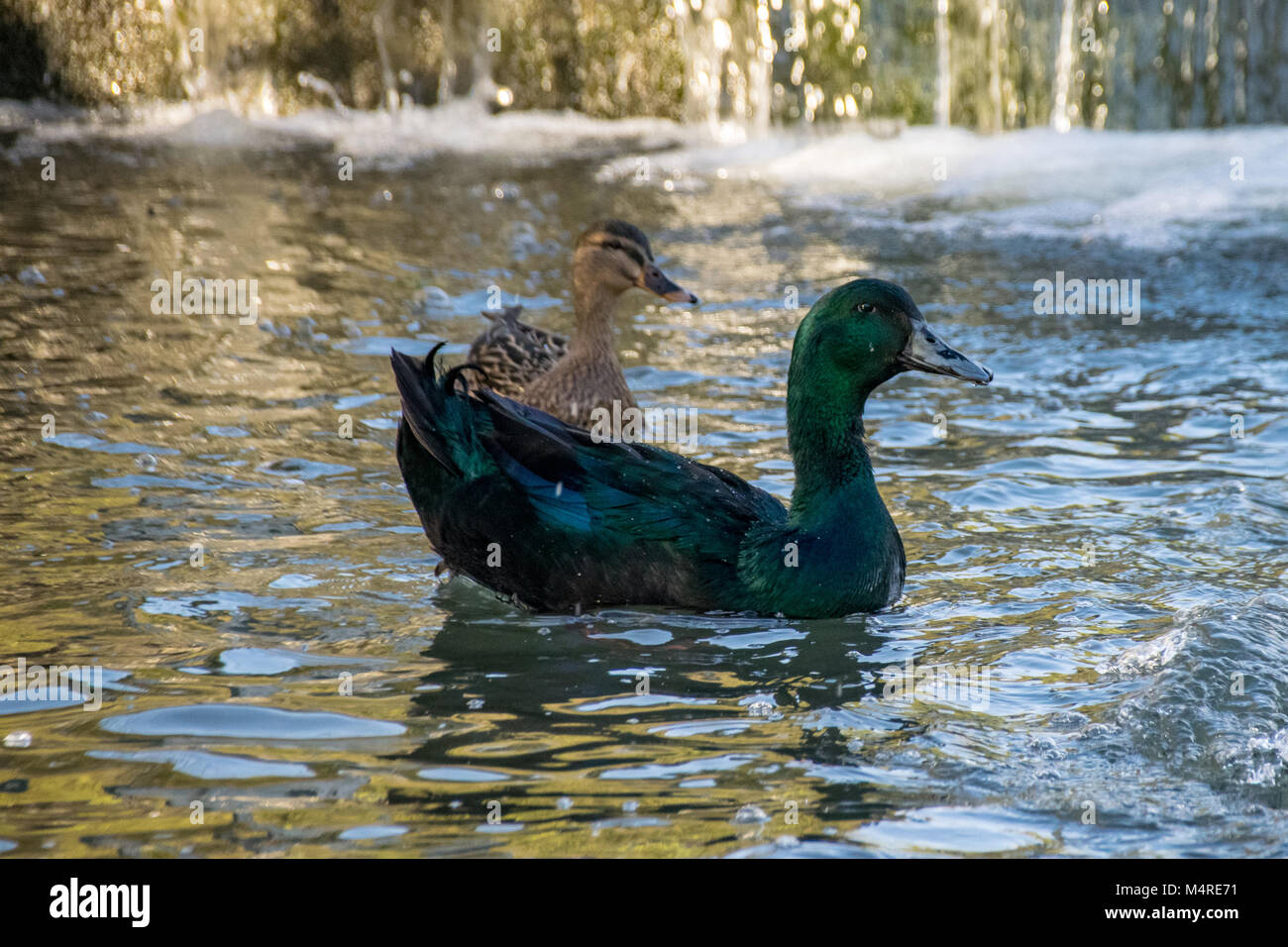 cayuga duck stockfotos cayuga duck bilder alamy. Black Bedroom Furniture Sets. Home Design Ideas