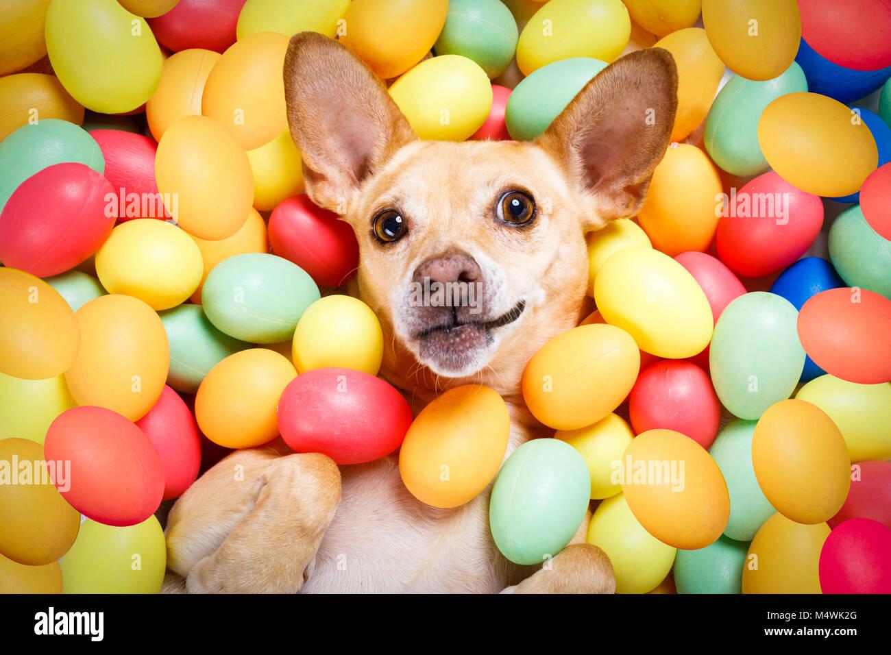 Frohe Ostern chihuahua Hund im Bett lag, voll lustig bunte Eier, für ...