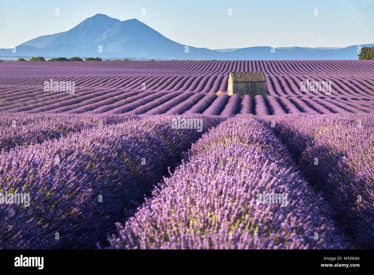 Lavendelfelder in Plateau de Valensole mit Stein Haus im Sommer. Alpes de Haute Provence, Region PACA, Frankreich Stockbild
