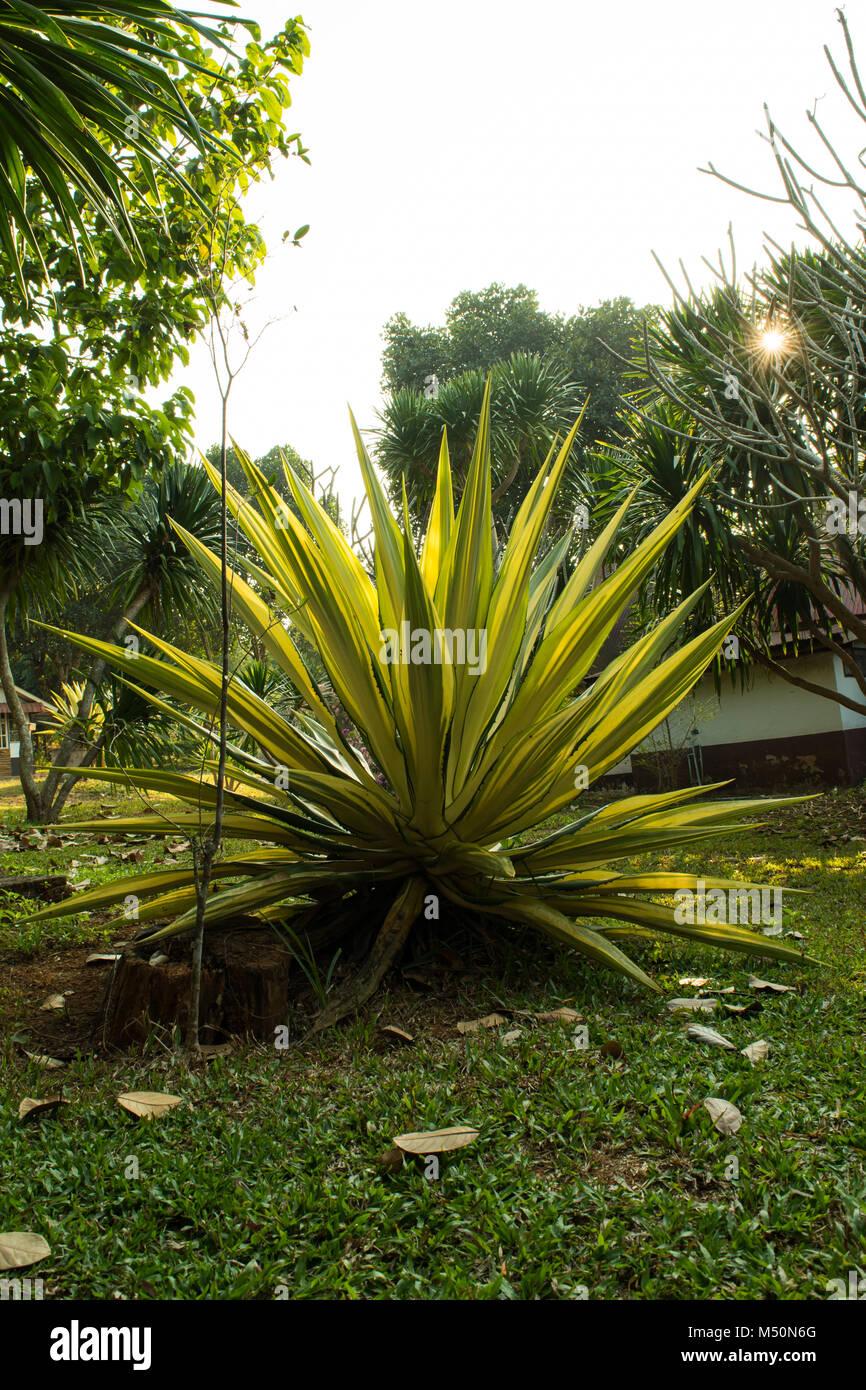 Karibik Agave Deko Baum Im Garten Am Ferienort In Der Landschaft