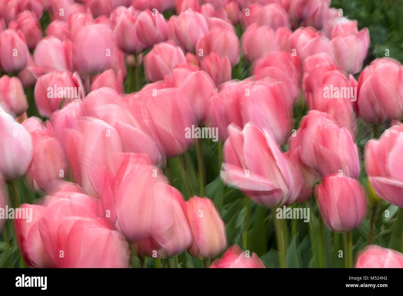 Feld mit rosa Tulpen im Wind, die Glühbirne Feldbereich Bollenstreek, Noordwijkerhout, Niederlande Stockbild