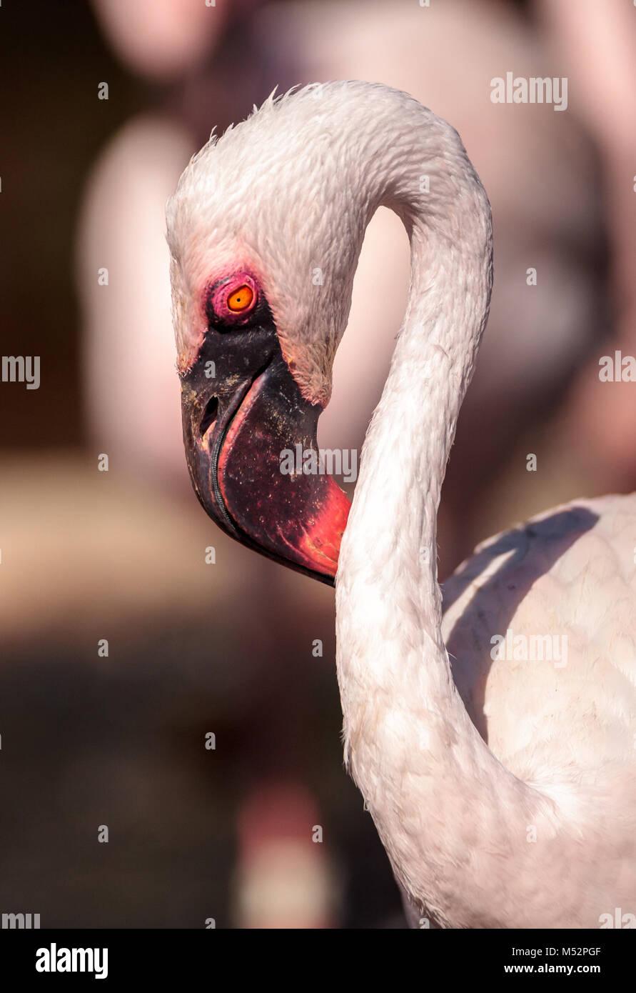 Rosa lesser Flamingo, Phoeniconaias minor Stockbild