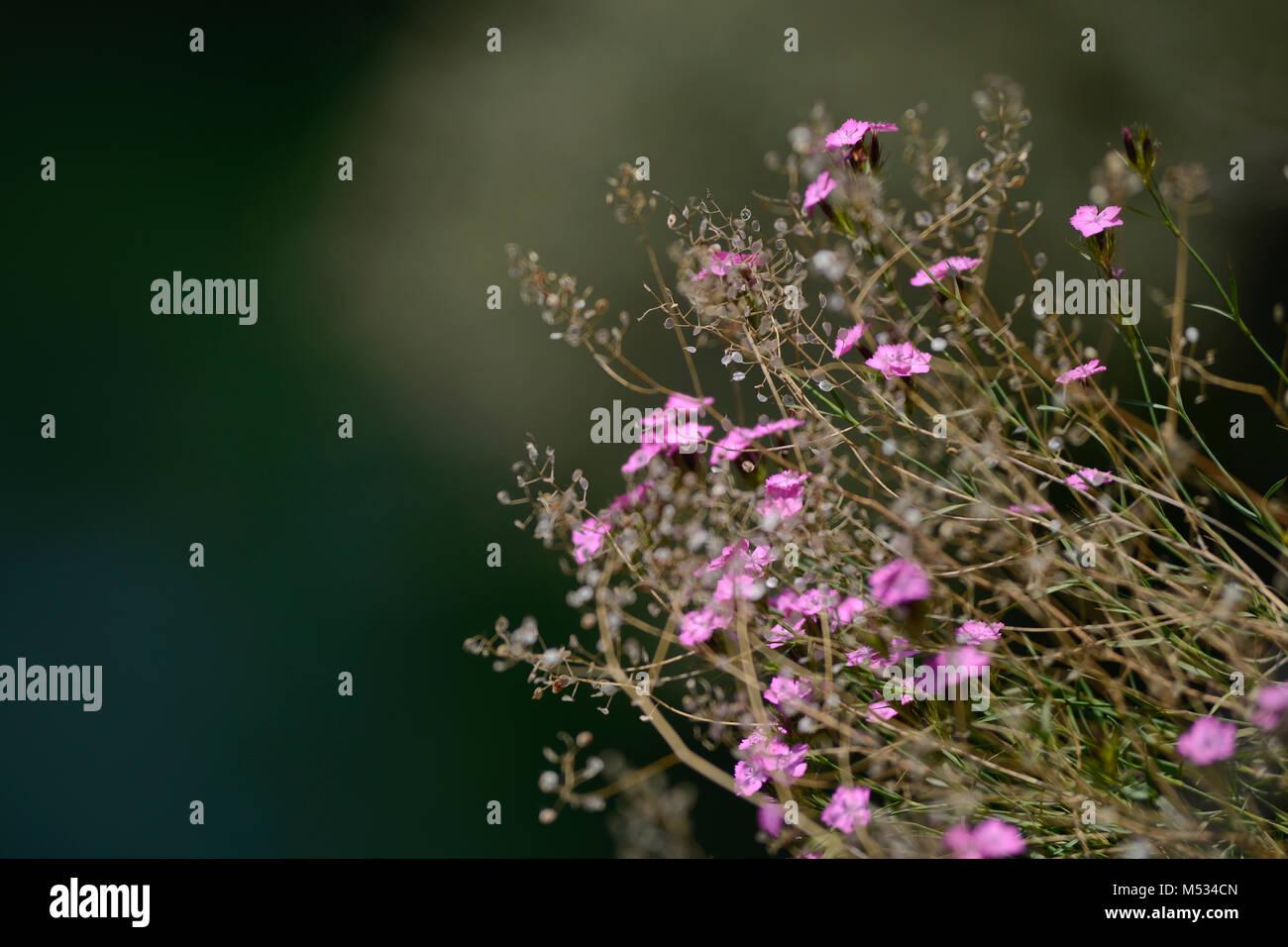 Wild lillies, Matka Canyon, Mazedonien Stockbild