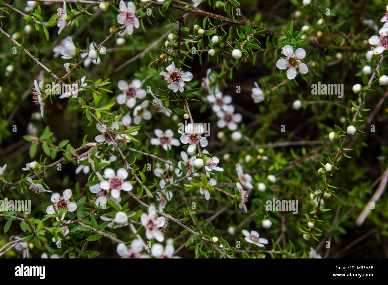 Manuka Honig Baum Blume Stockbild