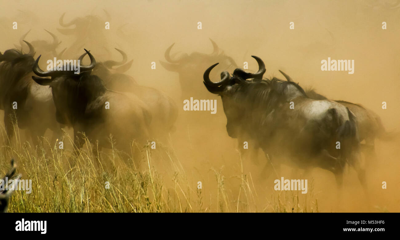Jährliche migration von über einer Million Streifengnu (connochaetes Taurinus) und 200.000 Zebras. Im Stockbild