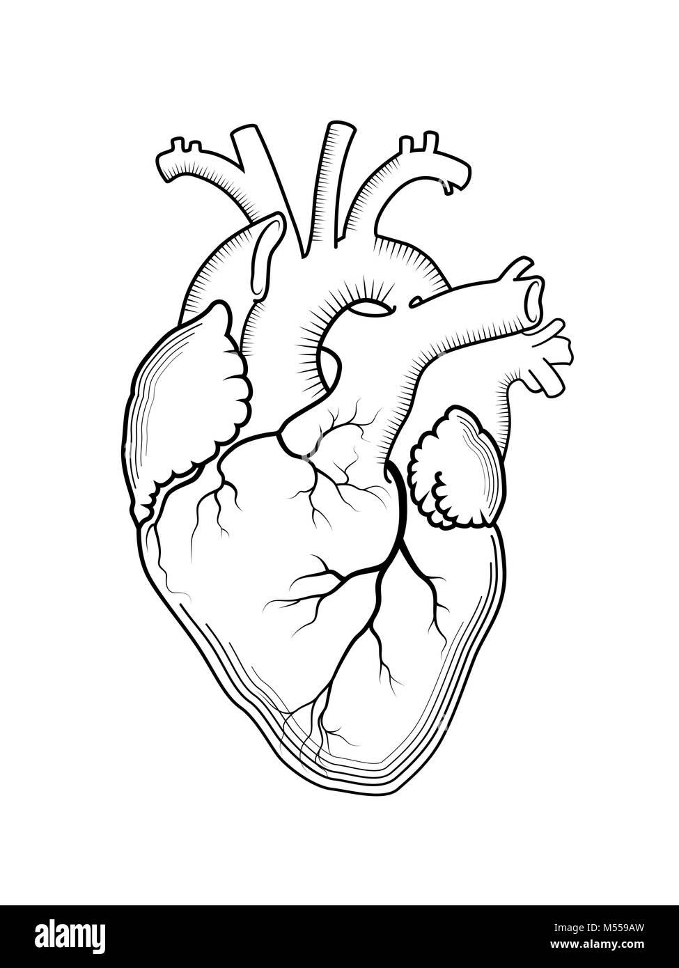 Herz. Die innere Organ des Menschen, anatomische Struktur Stockfoto ...