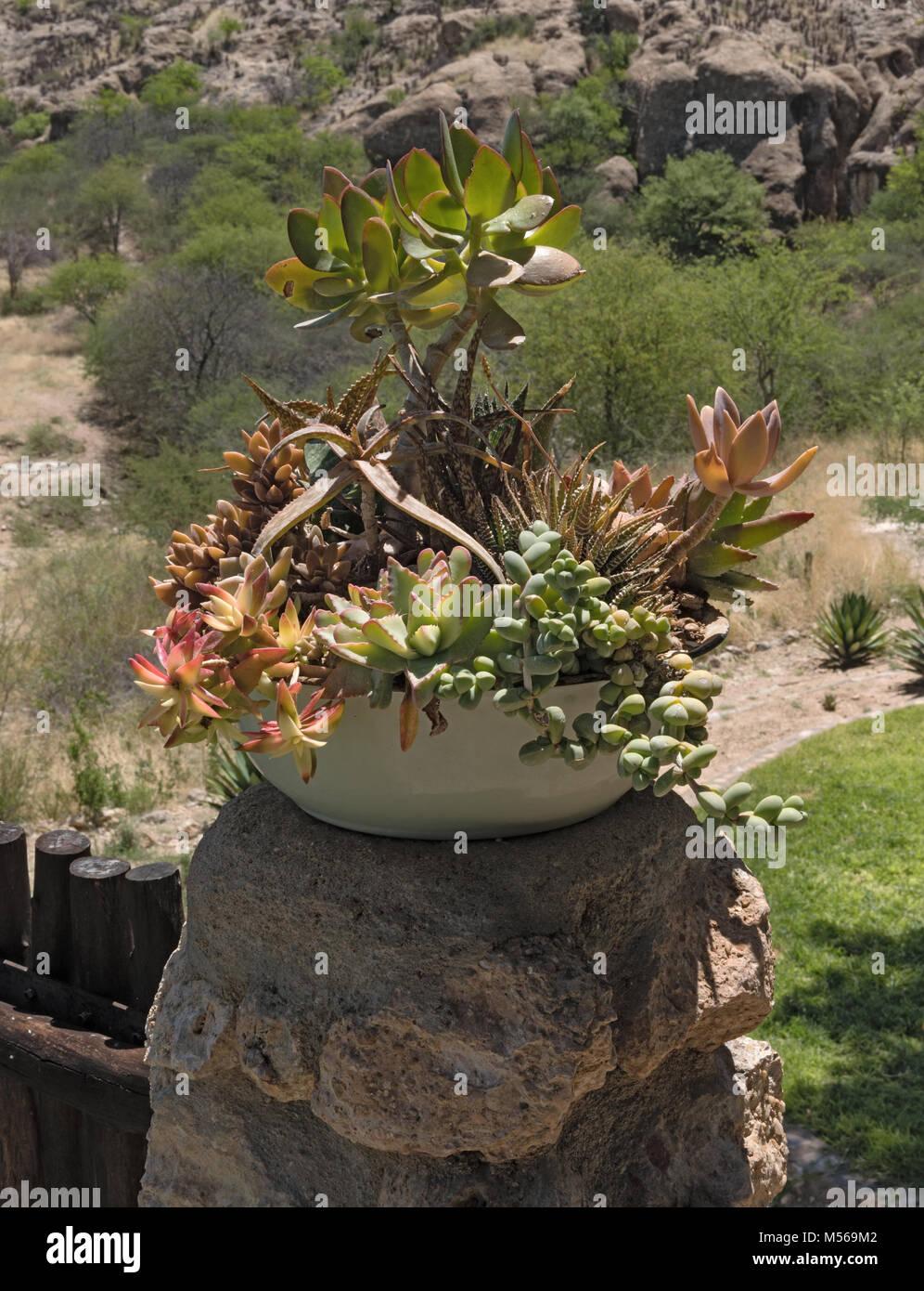 Eine Keramik Blume Schüssel mit anderen Sukkulenten Stockbild