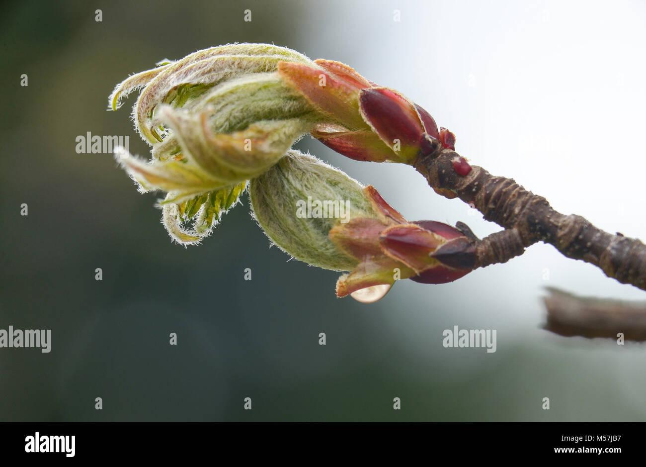 Makro Maple Leaf Spring angehende mit Tau Tropfen Reflexion. Flache Tiefenschärfe mit Blau- und Grüntöne Stockbild