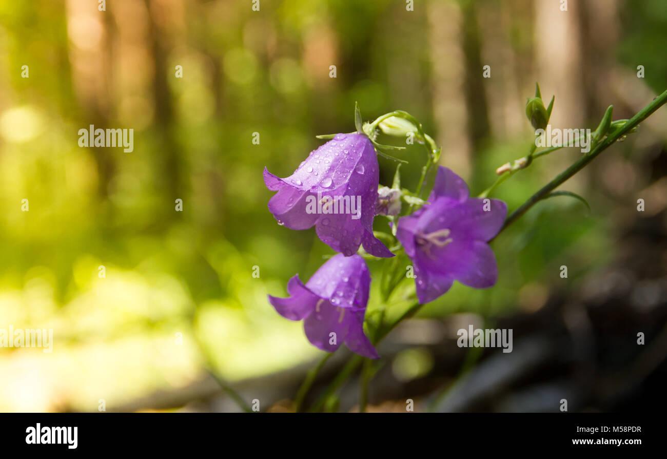 Hyacinthoides non-skriptingunterbrechung - Sommer Blumen - Bluebell im Wald Stockbild