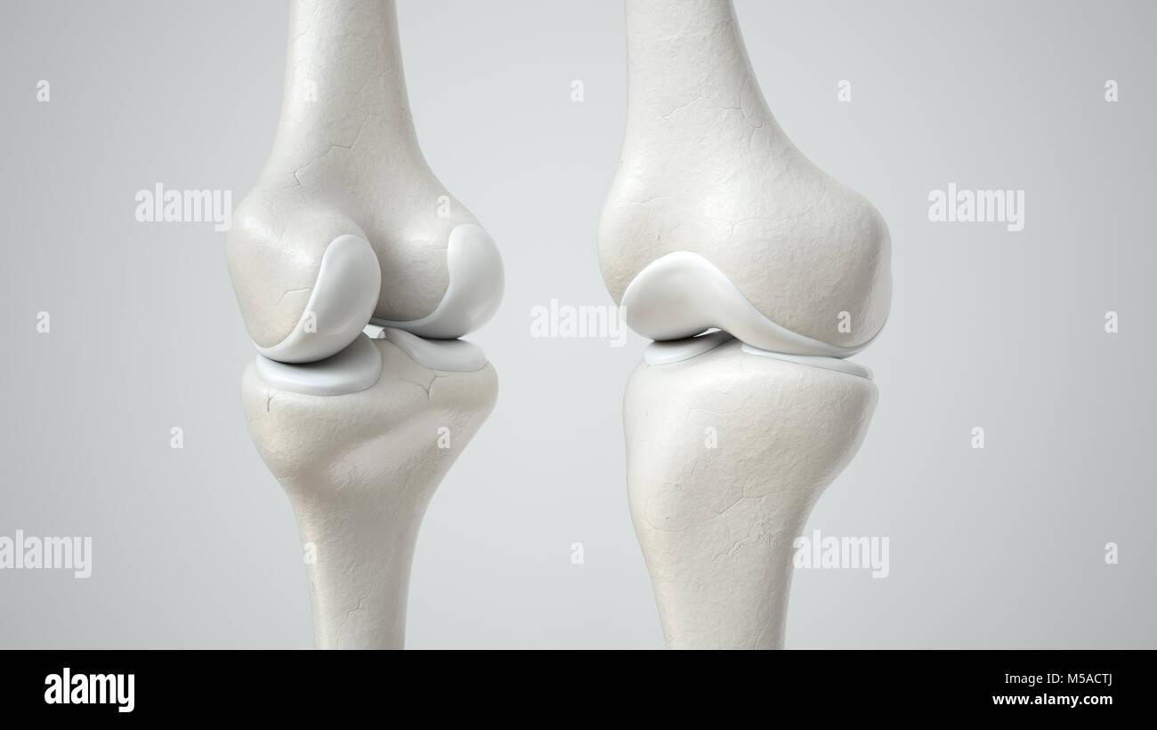 Kniegelenk mit gesunden Knorpel, Vorder- und Rückseite - 3D ...