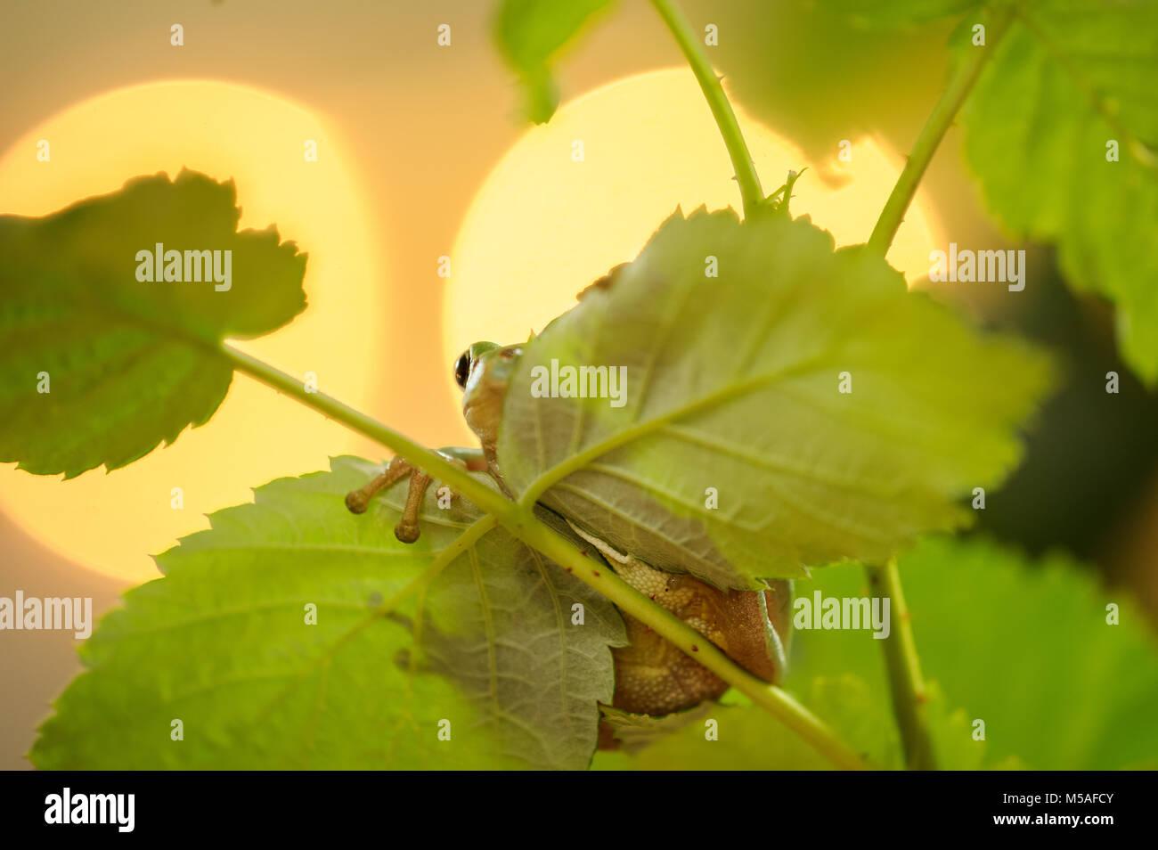 Versteckte Frosch mit Hintergrundbeleuchtung Stockbild