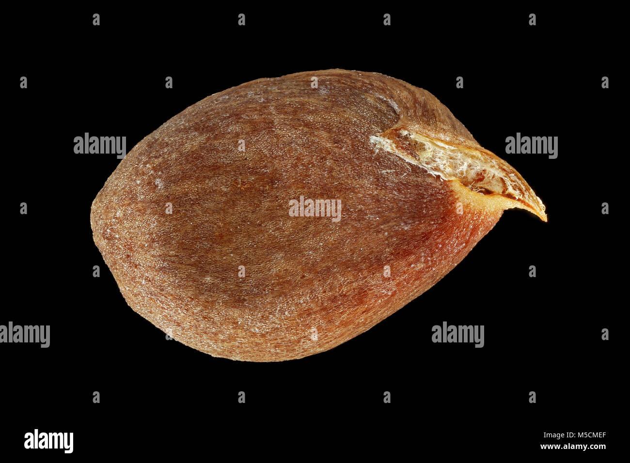 Malus Domestica, Apfelbaum, Kultur-Apfelbaum, Samen, Nahaufnahme, Saatgröße 7-10 mm Stockbild