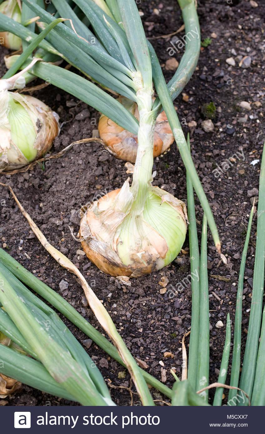 """Allium cepa. Die Zwiebel enshyu Gelb"""". Stockbild"""