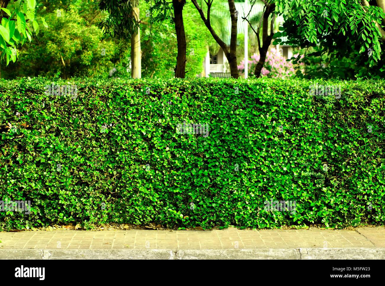 Hecke Zaun Eine Hecke Die Rund Um Das Haus Wachsen Benutzen Es Als