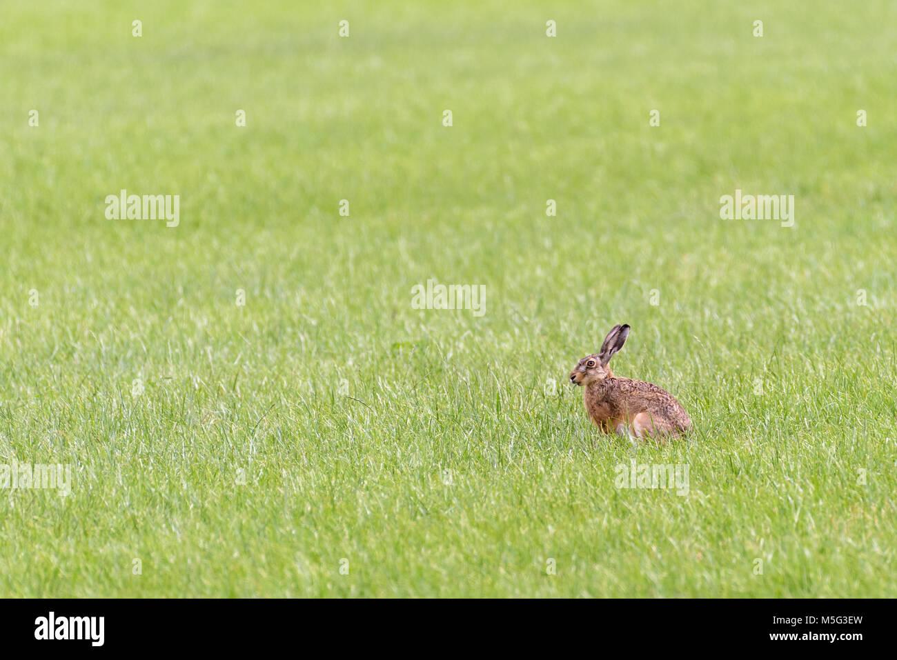 Eine europäische Hase sitzt in einem offenen Feld und ist das Essen aus dem Gras. Stockbild