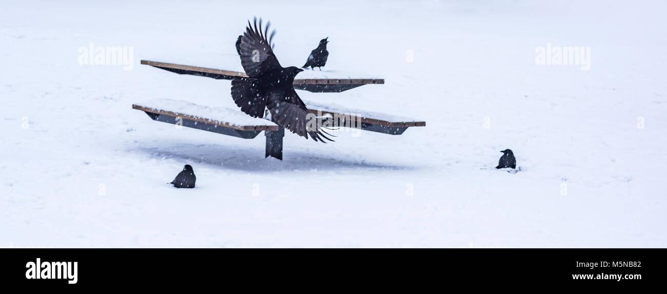 Corvus caurinus, nordwestliches Krähen auf park picknick Tisch im Schnee, Vancouver, British Columbia, Kanada. Stockbild