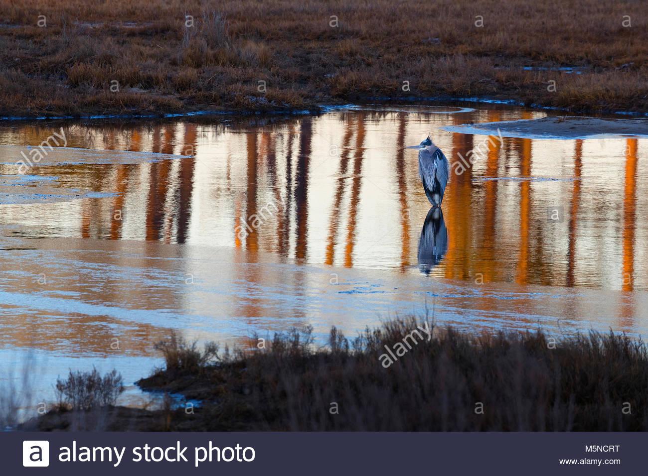 Ein Great Blue Heron (Ardea herodias) jagt in einem Aufgehobenen - Teil eines Teiches in der Black Duck Marsh in Stockbild