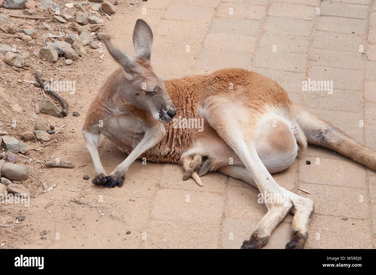 Atemberaubend Kanguru Malvorlagen Galerie - Malvorlagen Von Tieren ...