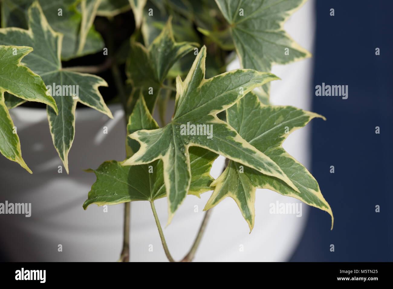 Efeu, Murgröna (Hedera helix) Stockfoto