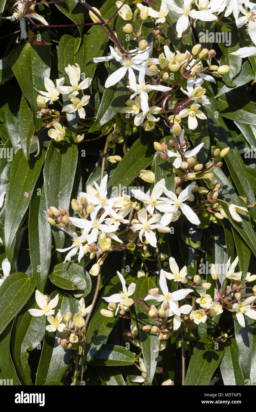 Kletterpflanze Immergrün im späten winter blumen und laub der elegante immergrüne